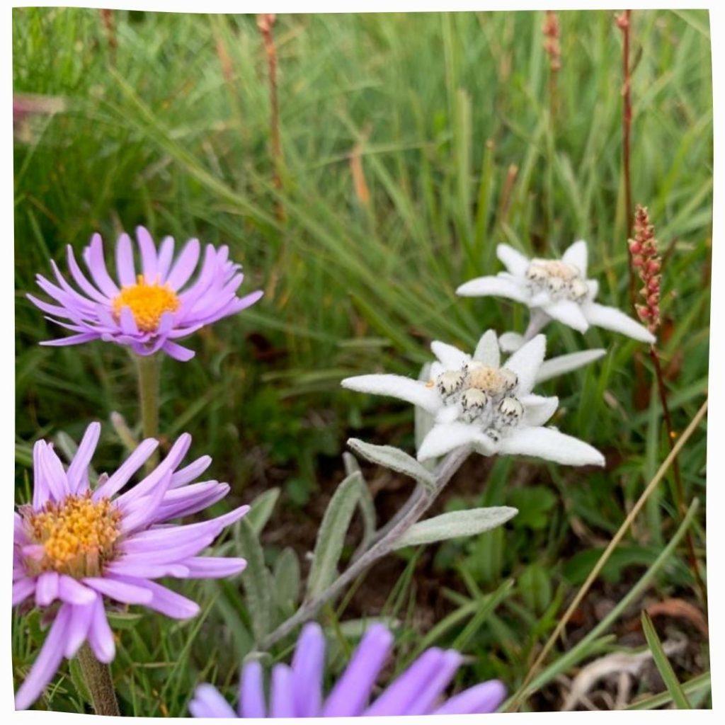 Fleurs sauvages de montagne naturelles
